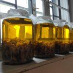 kořeny lopuchu naložené v extra panenském olivovém oleji