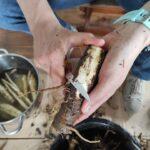 zpracovávání čerstvě vykopaného kořene lopuchu